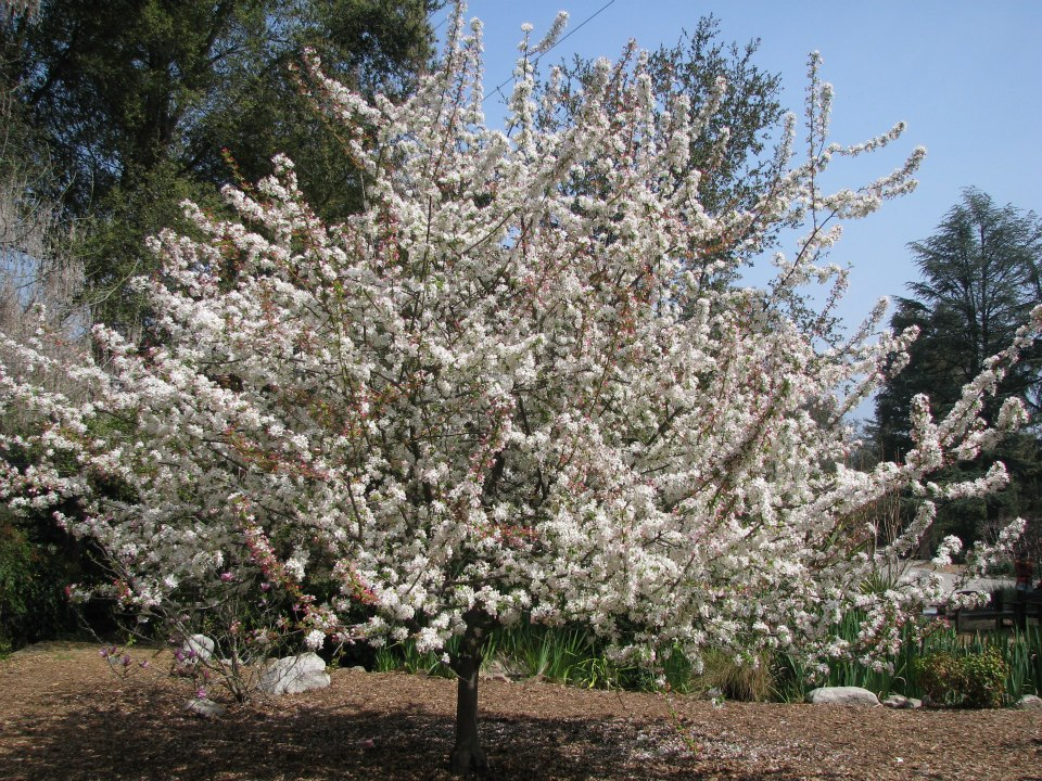 2013 Cherry Blossom Festival At Descanso Gardens Kismet